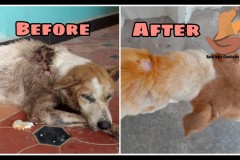 Dog rescued with maggot wound on back is before and after treatment .