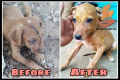 Wounded puppy- before $ After treatment