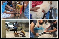 Pet and street dog vaccination